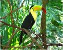 Keel Billed Toucan native to Central and South America and often seen and heard